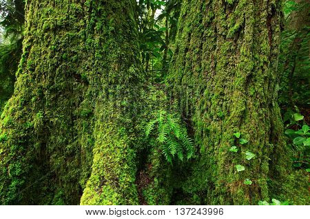 a picture of an exterior Pacific Northwest old growth Douglas fir trees with moss
