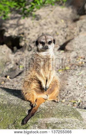 Beautiful wild meerkat sitting on the rock