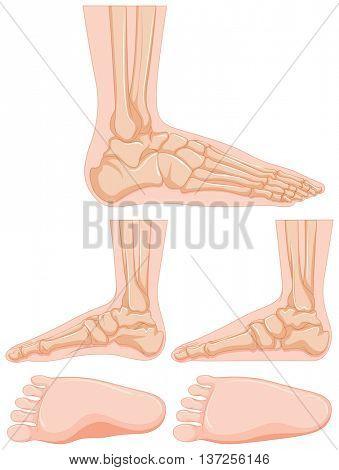 Diagram of human foot bone illustration