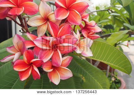 Group of varicolored Plumeria Flower Flower of tropical climate.