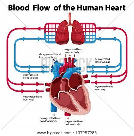Chart showing blood flow of human heart illustration
