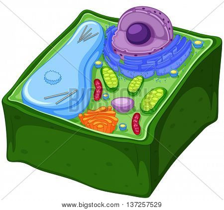 Plant cell anatomy cross-section