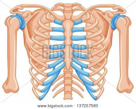 Shoulder bone on white background illustration