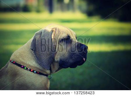 African Boerboel puppy - South African bulldog