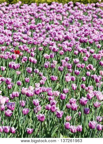 a lot of beautiful pink purple tulips colorful flowers on slender stems with green leaves in early spring in the garden