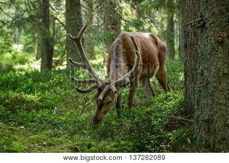 Majestic powerful adult red deer cervus elaphus in a forest in Sumava Bohemia Czech republic
