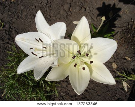 Asiatic hybrids lily 'Apollo' white flowers .