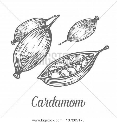 Cardamom Seed Plant . Hand Drawn Sketch Vector Illustration Isolated On White. Spicy Herbs. Cardamom