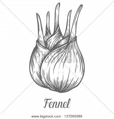 Fennel Root Plant. Hand Drawn Sketch Vector Illustration Isolated On White. Spicy Herbs. Fennel Dood