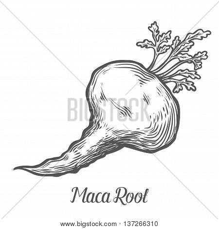 Maca Peruvian Superfood Plant. Hand Drawn Engraved Vector Sketch Etch Illustration. Ingredient For H