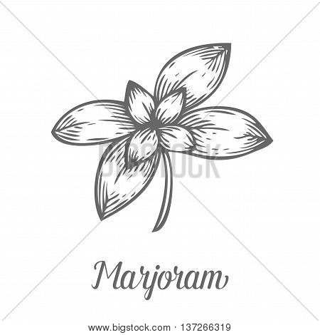 Marjoram Plant Branch Leaf. Hand Drawn Sketch Vector Illustration Isolated On White. Spicy Herbs. Ma