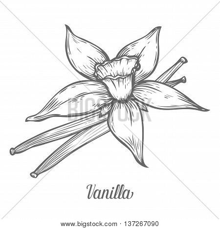 Vanilla Flower Seed Plant Branch Leaf. Hand Drawn Sketch Vector Illustration Isolated On White. Spic