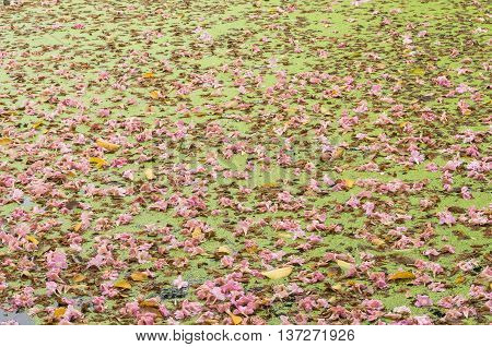 Texture Of Tabebuia Rosea Floating In The Lake. Pink Flower.
