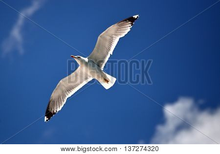 Large white seagull flying high in the sky.