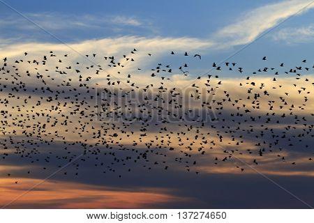 Millions flock of starlings at sunset, summer evening, birds in flight