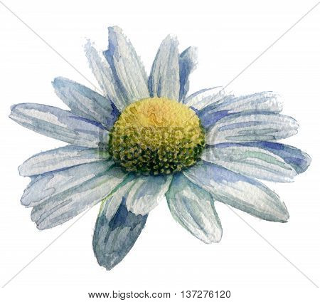 watercolor sketch: camomile of on white background