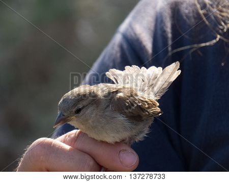 Sparrow being held in hand in Zaragoza Spain