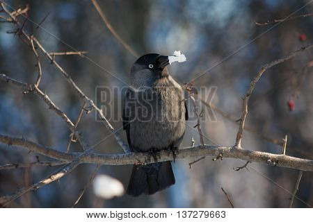 Russian Jackdaw sits on a branch in the winter woods.