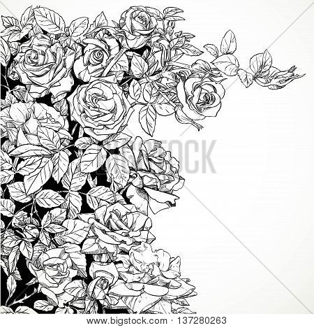 White background with vector drawing graphically climbing roses in black ink