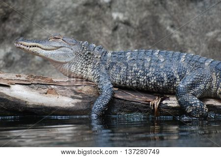 Nile crocodile on a log above the swampy water.