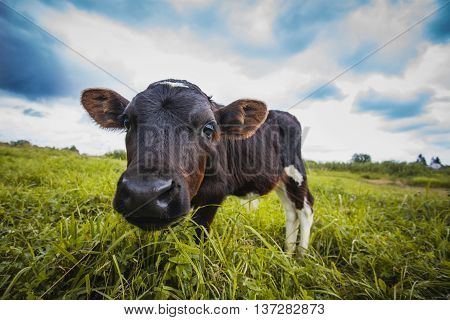 brown and white calf is grazing on the meadow