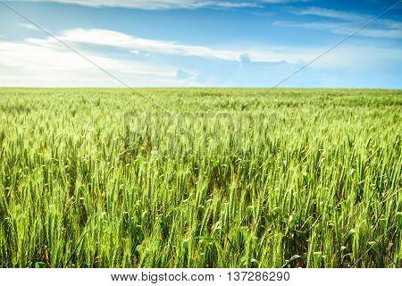 Green wheat field in Barossa South Australia