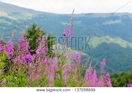 purple and pink wildflowers willow-herb on the mountain slopes in the Carpathian Mountains on the background of mountains and sky silhouette