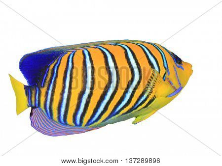 Tropical fish isolated: Regal Angelfish on white background