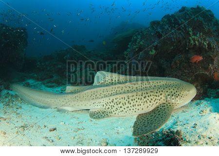 Leopard Shark (aka Zebra Shark)