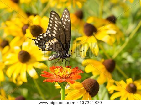 Black Swallowtail butterfly on red Zinnia, with yellow Black-eyed Susan flowers on the background