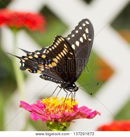 Beautiful Black Swallowtail butterfly feeding on a pink Zinnia flower in garden