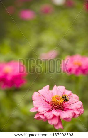 Closeup of pink Gerber daisy on summer flowers background.