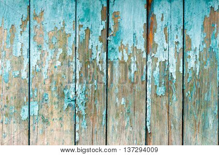 The old fence boards with chink. Painted light blue paint. From old age almost all the coating peeled off.