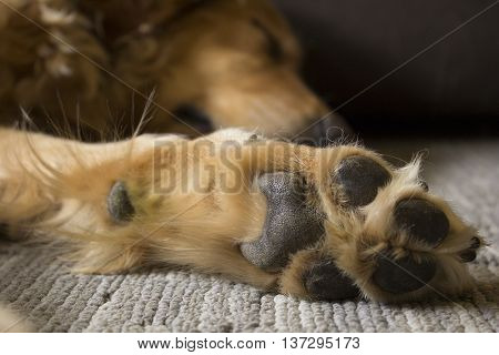 Sleeping Golden Retriever paw up close and sleeping