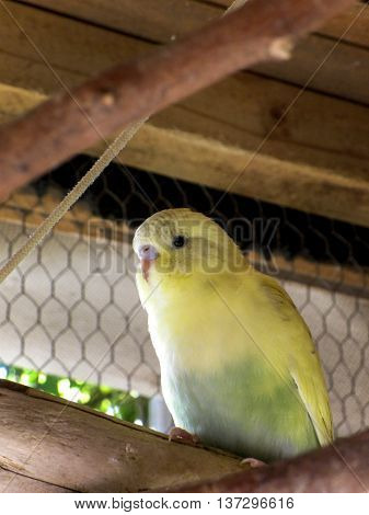 A close-up view of a young dilute recessive pied yellow and  green budgie.
