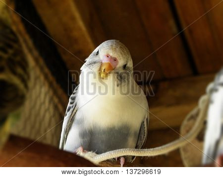 A close-up view of a young grey recessive pied budgie.