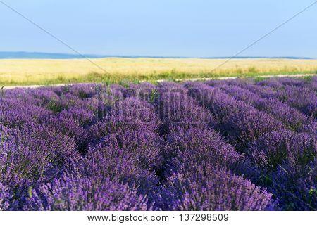 Photo of purple flowers in a lavender field in bloom moldova