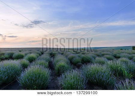 Photo of purple flowers in a lavender field in bloom at sunset moldova