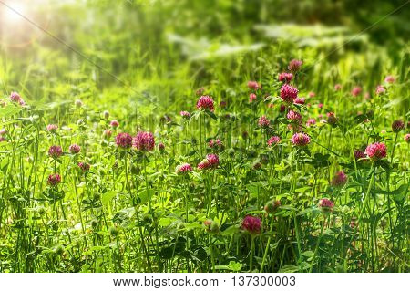 Red clover flowers on the field. Summer meadow