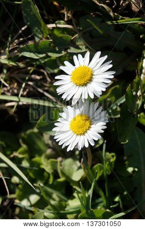 Daisies with white petals and yellow center in green grass closeup