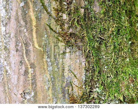 beech tree trunk, close up. Bark of a beech tree.