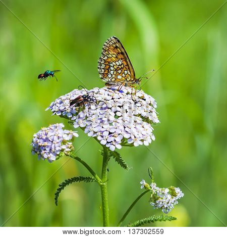 The reddish Checkered butterfly( Melitaea aurelia ), Yarrow flower ( Achillea millefolium )