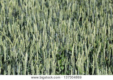 Green wheat (Triticum spp.) in a field.