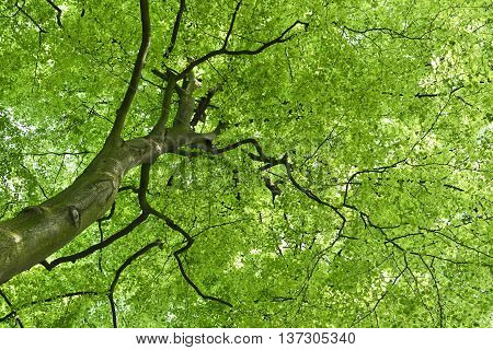 Beech tree and sun. View up to the tree top of a beech tree. Low angle view of a tree in a mixed forest in springtime.