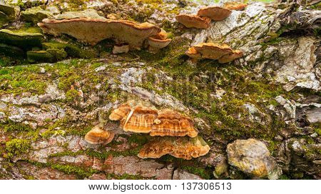brown and orange fluffy wood mushrooms parasites grow in the wood on the big gray stub covered with a moss
