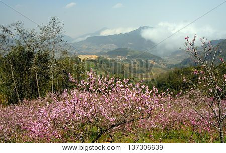 peach flowers, on high mountains in Sa Pa, Vietnam, sunlight, early morning