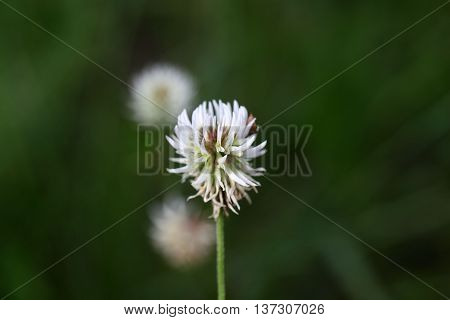 Flower of a mountain clover (Trifolium montanum)