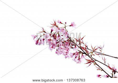 cherry blossom or sakura blossom on white.