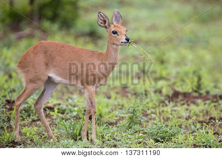 Small Steenbok female walking carefully over open and dry ground