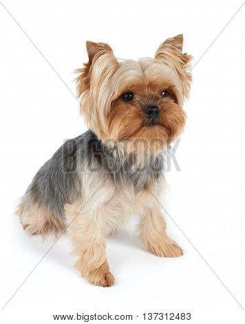One Yorkshire Terrier with haircut isolated on white